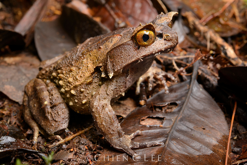 The rare Montane Horned Frog (Megophrys kobayashii) is endemic to mountain rainforests of Sabah in northern Borneo. Like other members of the genus, this large terrestrial frog relies on its superb camouflage to evade detection from predators.