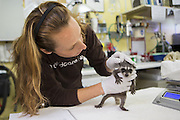 Raccoon <br /> Procyon lotor<br /> Director of Animal Care, Melanie Piazza, examining three-week-old orphaned baby at wildlife rehabilitation center<br /> WildCare, San Rafael, CA<br /> *Model release available