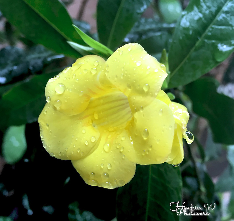 Flower by Purwi Indah Agustina Putri.<br /> <br /> Purwi is a domestic helper living in Hong Kong. She is originally from East Java, Indonesia.