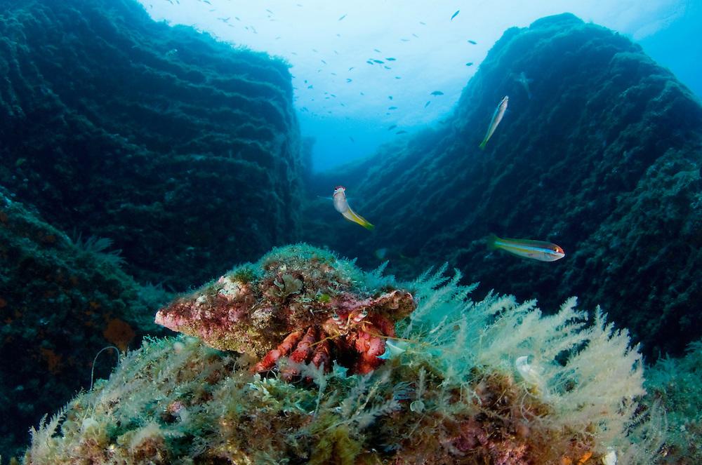 Big red hermit crab, Dardanus calidus, in scenery, Faial, Azores, Portugal
