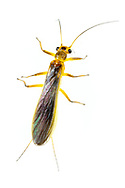 Common Stonefly (Perlesta sp.)<br /> ALABAMA: Tuscaloosa Co.<br /> Tulip Tree Springs off Echola Rd.; Elrod<br /> 24-April-2016<br /> J.C. Abbott #2802 &amp; K.K. Abbott
