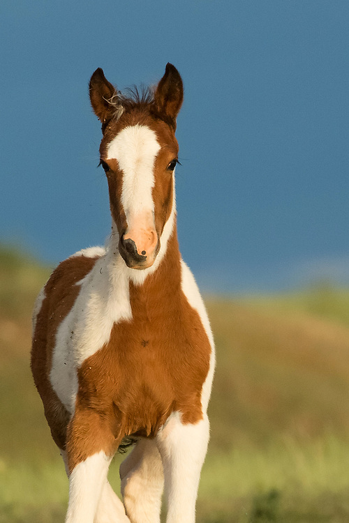 This little filly was born to the mare, Taboo, and her band stallion, Tahlequah in April of 2018.  Now two months old, she is just as cute and curious as ever.