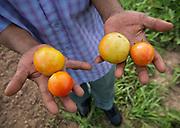 mkb081917d/refugee garden/Marla Brose --  Harvesting tomatoes, August 19, 2017. (Marla Brose/Albuquerque Journal)