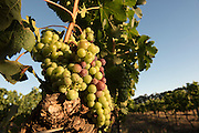 Veraison - Merlot - Voyager Estate, Margaret River - Photograph by David Dare Parker