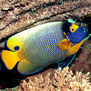 Yellow-mask Angelfish inhabit reefs. Picture taken Lembeh Straits, Sulawesi, Indonesia.