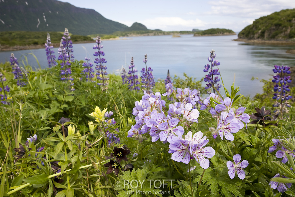 Floral landscape of Geographic Harbor, Katmai National Park, Alaska.