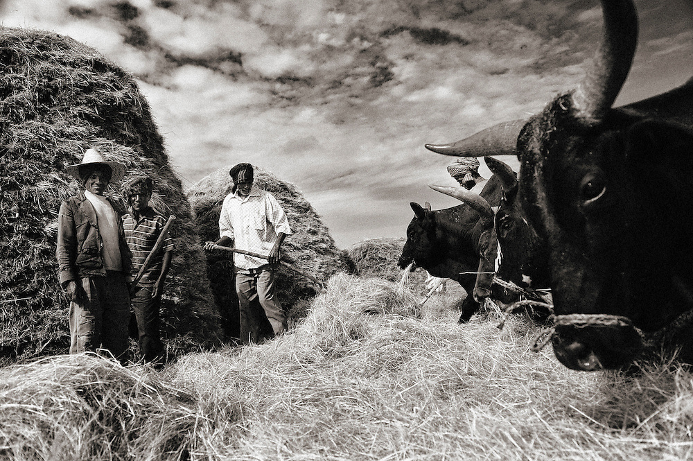 Farmers with cows, Ethiopia