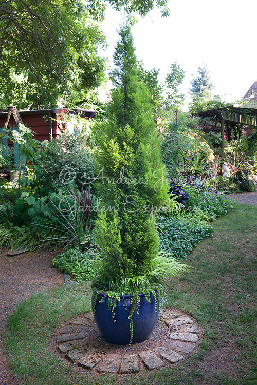 Evergreen conifer in a glazed pot.