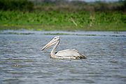 Tanzania wildlife safari Pink-backed Pelican (Pelecanus rufescens)