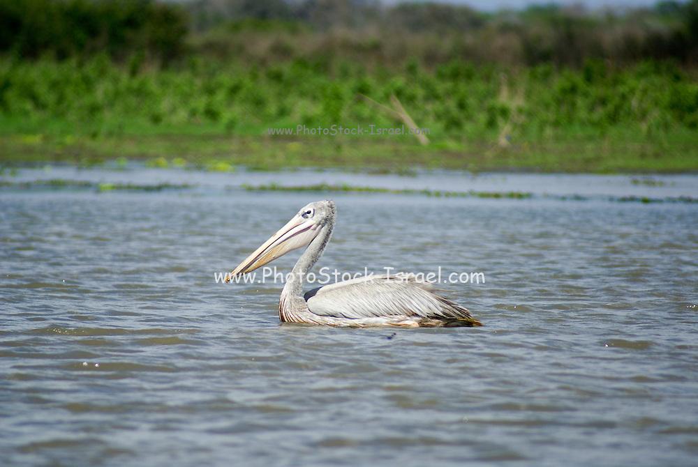 Tanzania wildlife safari Pink-backed Pelican (Pelecanus rufescens)