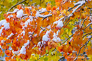 Fresh snowfall on autumn quaking aspen trees in Glacier National Park, Montana, USA