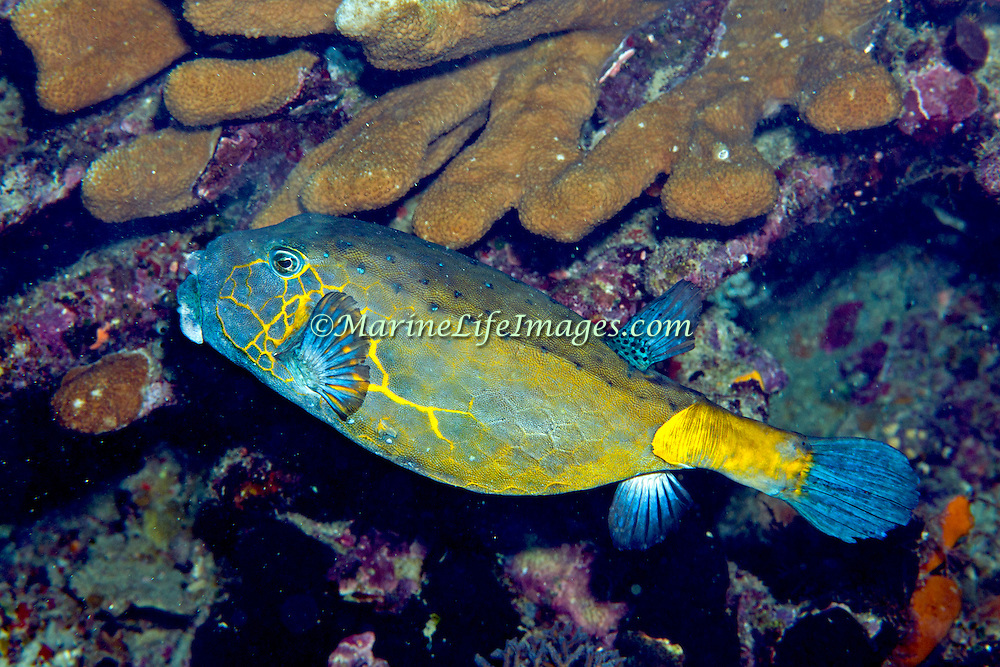 Yellow Boxfish inhabit reefs. Pictue taken Raja Ampat, Indonesia.