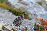A Sooty Grouse (Dendragapus fuliginosus) foraging in the Heather at the Mount Baker-Snoqualmie National Forest in Washington State, USA