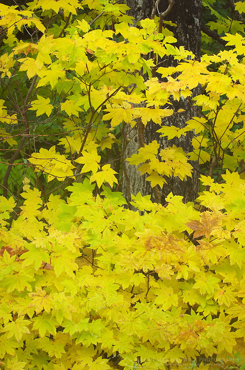 Colorful Vine Maples (Acer circinatum) in fall, North Cascades Washington