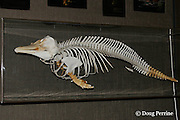 skeleton of Hector's dolphin, Cephalorhynchus hectori, Endangered Species, endemic to New Zealand, Akaroa Museum, Akaroa, Banks Peninsula, South Island, New Zealand ( South Pacific Ocean )