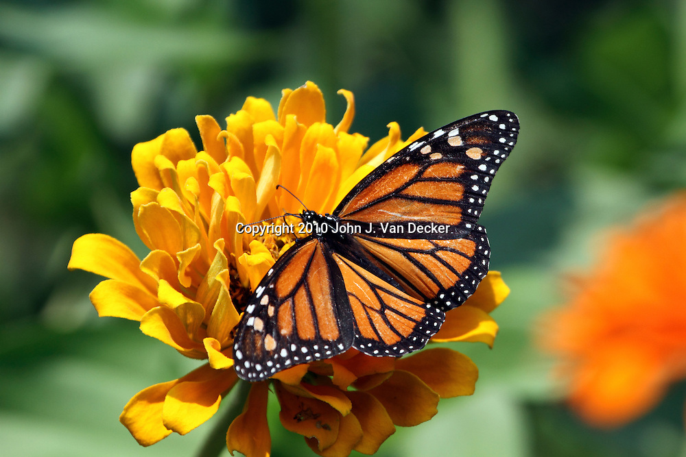 Monarch Butterfly, Danaus plexippus, with wings spread feeding at a yellow flower. The butterfly is a female as evidenced by the lack of a black spot on the vein of the hindwings. New Jersey, USA, North America.