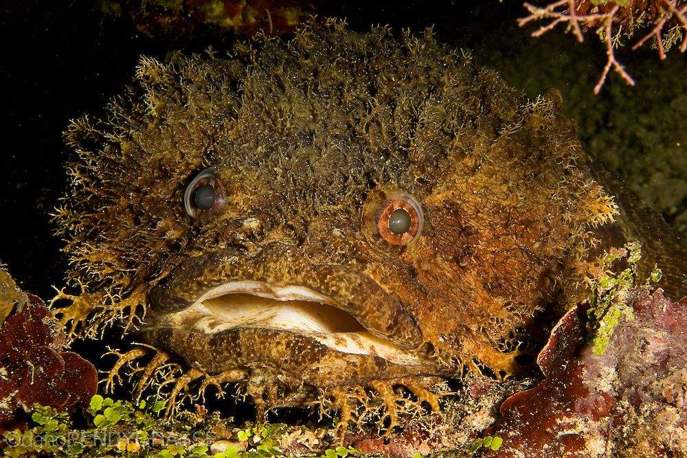 One of the resident Large Eye toadfish ( Batrachoides gilberti ) from spooky channel in Roatan.