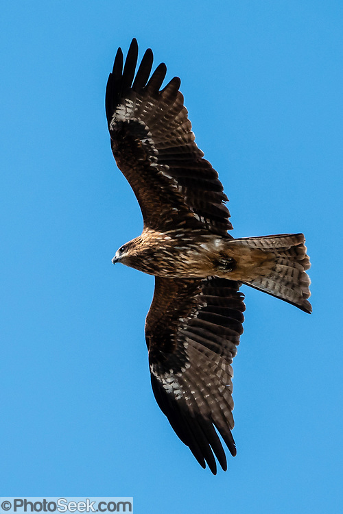 A common raptor found throughout Japan is the black-eared kite (Milvus migrans lineatus), a a medium-sized bird of prey in the family Accipitridae. Unlike others of the group, black kites are opportunistic hunters and are more likely to scavenge. They spend a lot of time soaring and gliding in thermals in search of food. Their angled wing and distinctive forked tail make them easy to identify. They are also vociferous with a shrill whinnying call. The black kite species (Milvus migrans) is thought to be the world's most abundant bird of prey. Nachikatsuura, Higashimuro District, Wakayama Prefecture, Japan. In Nachikatsuura, don't miss the impressive tuna market auction at 7:00am, easily viewed from above in the open public gallery. (In contrast, Tokyo's restrictive early morning fish auction at Toyosu Market limits viewers via registration and a wall of glass). Japan is the world's biggest consumer of tuna.