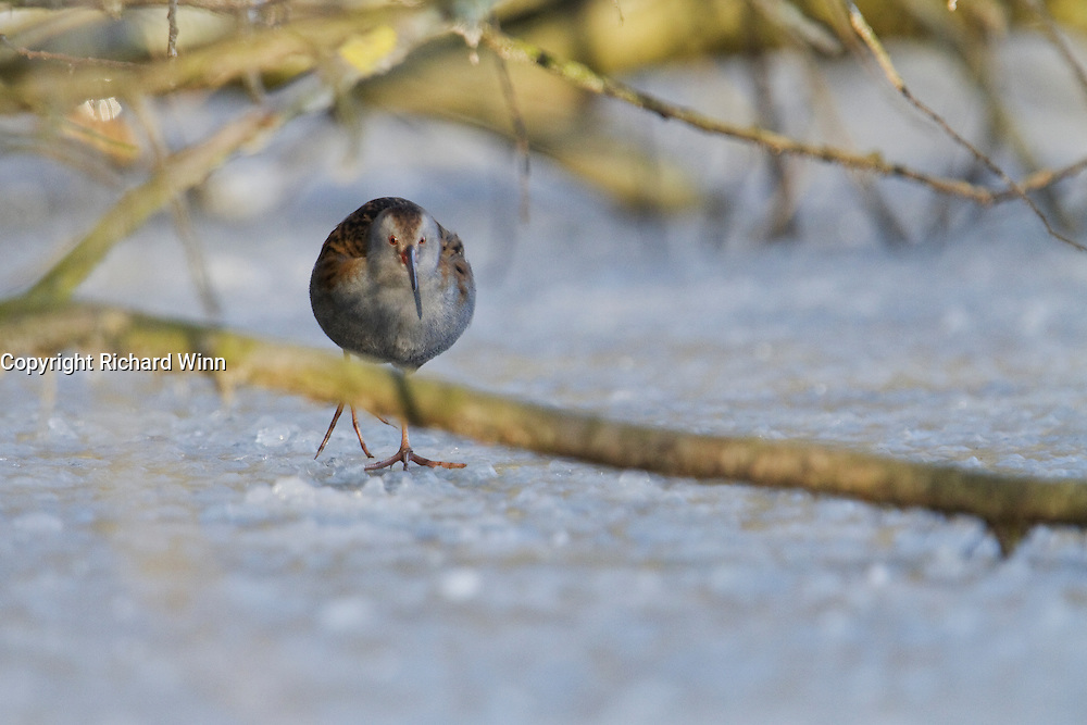 Water rail (Rallus aquaticus) running towards the camera across some ice at Shapwick Heath in Somerset.