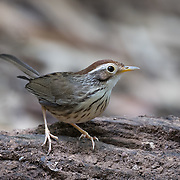 The puff-throated babbler or spotted babbler (Pellorneum ruficeps) is a species of passerine bird found in Asia.