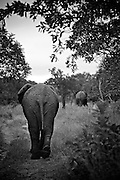 African Elephants (Loxodonta africana), Thornybush, South Africa