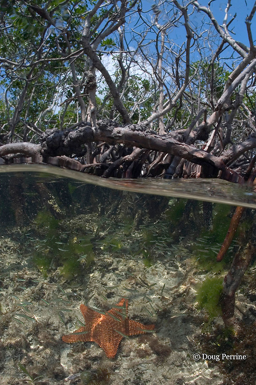 small fish shelter among roots of red mangrove trees, Rhizophora mangle, on small mangrove caye inside southern Belize Barrier Reef, Belize, Central America ( Caribbean Sea )