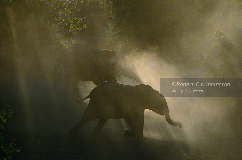Elephants excited by the prospect of a drink and a bath stir up dust clouds on the banks of the Chobe River