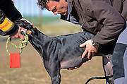 Finals of the Spanish National Championships of Hare Coursing, in Madrigal de las Altas Torres, Avila, Spain. Although forbidden in most countries, it is a competitive and legal sport in Spain, in which dogs are tested on their ability to run, overtake and turn a hare. The business that surrounds greyhounds in Spain moves millions of Euros each year.