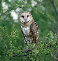Barn Owl, Tyto alba<br />