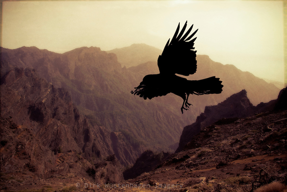 Silhouette of a raven in flight<br />