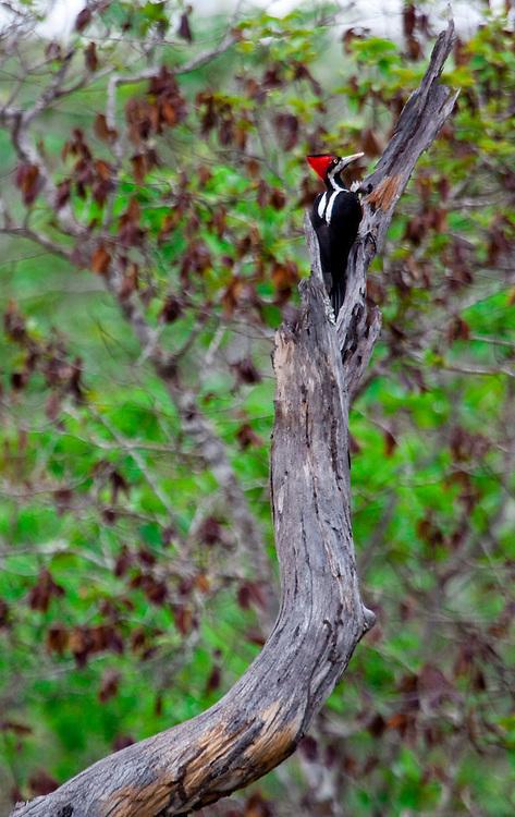Chapada dos Guimaraes_MT, Brasil...Imagens do Parque Nacional da Chapada dos Guimaraes no Estado do Mato Grosso. Na foto Pica-pau-da-Banda-Branca (Dryocopus lineatus) no Vale dos Dinossauros...The Chapada dos Guimaraes National Park  is a national park in the Brazilian state of Mato Grosso. In this photo Lineated Woodpecker (Dryocopus lineatus) in the Vale dos Dinossauros..Foto: JOAO MARCOS ROSA  /NITRO..