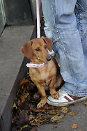 A small female Dachshund, with pink lead and collar, sitting on the ground in autumn leaves with one paw on the owners sneakers. Autumn leaves next to the dog.Owner wearing jeans and red and white shoes