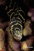 chain moray eel, Echidna catenata, Dominica ( Caribbean Sea )