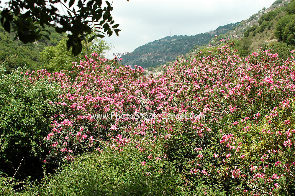 Israel, Upper Galilee, a group of school children on a field day to Betzet River, Flowering Oleander (Nerium oleander) bushes
