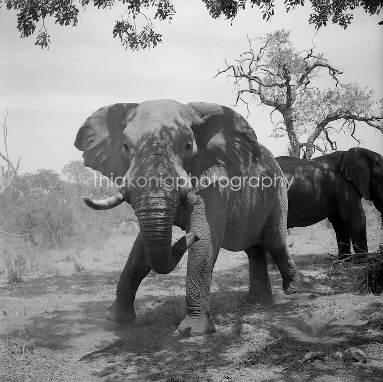 Angry elephant with broken tusk, black and white image from medium format film, under tree, Okanvango Delta, Botswana, Africa. We startled him while he eats his lunch.