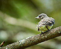 Third fledgling from the Eastern Phoebe nest. Maybe this one is an Eastern Phoebe and not a Brown-headed Cowbird.  Image taken with a Nikon D850 camera and 200-500 mm f/5.6 VR lens