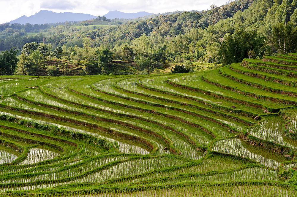 Paddy fields, nr Makassar, Sulawesi, Indonesia.