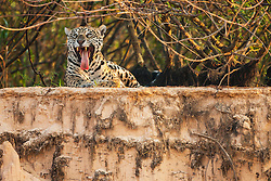 A wild jaguar (Panthera onca) yawns while laying on the ledge of a sandy cliff along a river bank, Pantanal, Brasil, South America