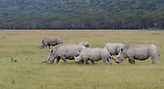 Kenya, Lake Nakuru National Park, White Rhinoceros or Square-lipped rhinoceros (Ceratotherium simum)