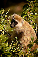 Baby Face - Vervet Monkey - Samburu Game Reserve, Northern Kenya, Africa: This small, black-faced monkey, called the Vervet Monkey, is common in East Africa as it adapts easily to many environments and is widely distributed. Edition on 100 EXP0323