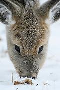 White-tailed Deer (Odocoileus virginianus) in winter, Montana
