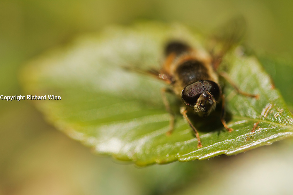 Narrow depth of field, showing the eye detail of a drone fly (Eristalis pertinax).
