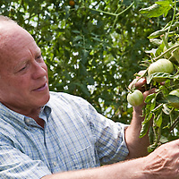 Organic farmer David Cohlmeyer inspects his Green Zebra heirloom tomatoes in one of his greenhouses at Cookstown Greens in Ontario.