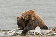 A brown bear sow rests on the beach along the Cook Inlet at the McNeil River State Game Sanctuary on the Kenai Peninsula, Alaska. The remote site is accessed only with a special permit and is the world's largest seasonal population of grizzly bears in their natural environment.