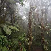 Cloud forest in mist, Wayqecha Cloud Forest Biological Station, Andes Mountains, Peru