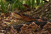 South American Bushmaster (Lachesis muta)<br /> CAPTIVE<br /> HABITAT & RANGE: Equatorial forests east of Andes in Colombia, Ecuador, Peru, Bolivia, Venezuela, Guyana, Surinam, French Guiana, Brazil and Trinidad