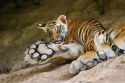 Bengal Tiger<br /> Panthera tigris <br /> 6 week old cub on mother at den<br /> Bandhavgarh National Park, India