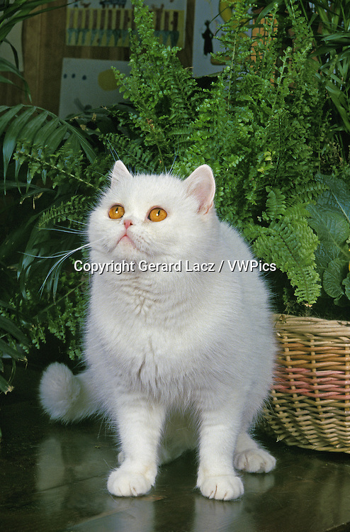 White Exotic Shorthair Domestic Cat, Adult near Green Plant