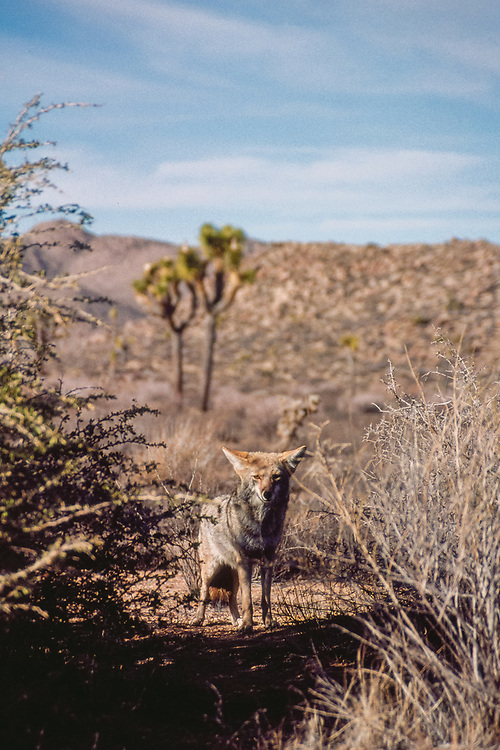 Coyote in Joshua Tree National Park, 2000
