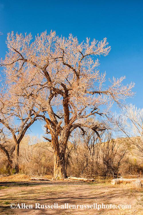 Cottonwood tree, Abiquiu, New Mexico
